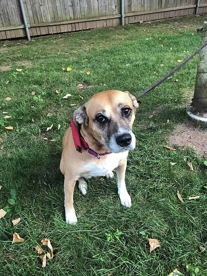 "West Haven Animal Control said a dog was found tied to a pole - with a necktie - at an apartment complex on Campbell Avenue on Saturday, July 27, 2019. ""We are asking for the public's assistance at this time regarding this sweet girl who was found tied to a pole Saturday, between the hours of 9 a.m. and 2 p.m. at the apartment complex at 998 Campbell Ave."" The dog was tied to the pole on a warm and humid day with temperatures well into the 80s. Photo: West Haven Animal Control"