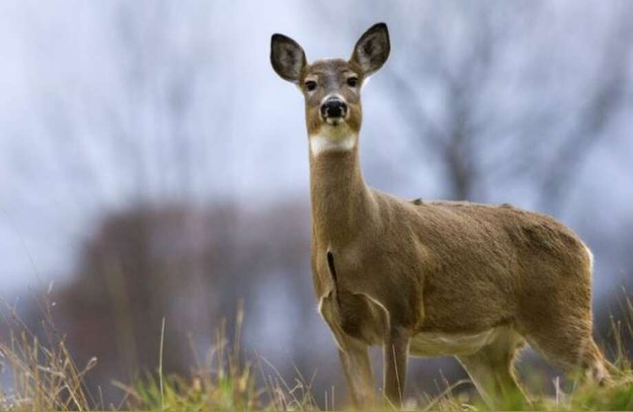 Manistee City Council recently held a general consensus to move forward with a deer cull. (Courtesy Photo/DNR)