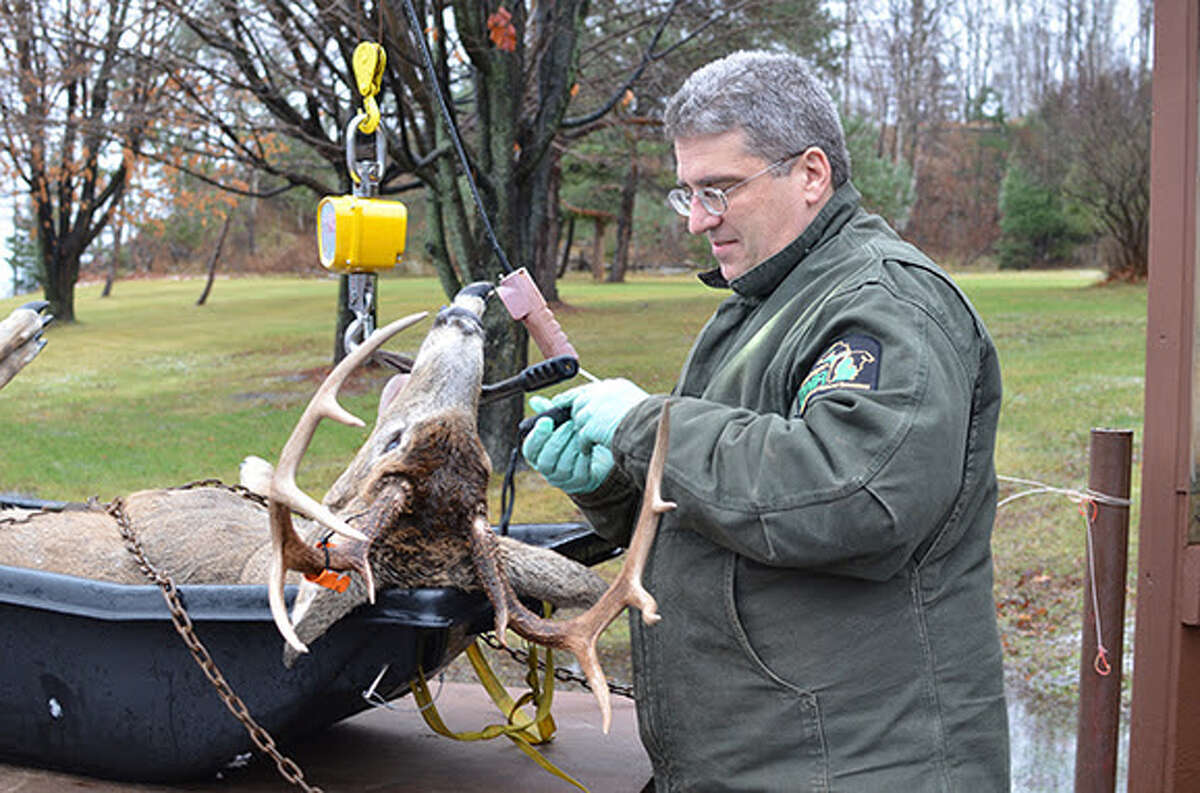 Michigan Department of Natural Resources wildlife biologist Brian Roell gets ready to check the age of a buck. The Big Bear Sportsman's Club will be running a deer check station this year.
