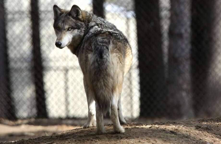 A gray wolf stands at the Osborne Nature Wildlife Center south of Elkader, Iowa, on April 11, 2018. U.S. wildlife officials plan to lift protections for gray wolves across the Lower 48 states, re-igniting the legal battle over a predator that's run into conflicts with farmers and ranchers after rebounding in some regions, an official told The Associated Press. (Dave Kettering/Telegraph Herald via AP, File)