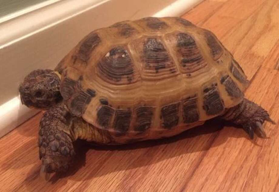 Tanya the tortoise went missing from her Ridgefield home about 10 days ago. Photo: Submitted/Laura Leigh Frazier