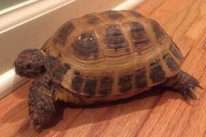 Tanya the tortoise went missing from her Ridgefield home about 10 days ago.