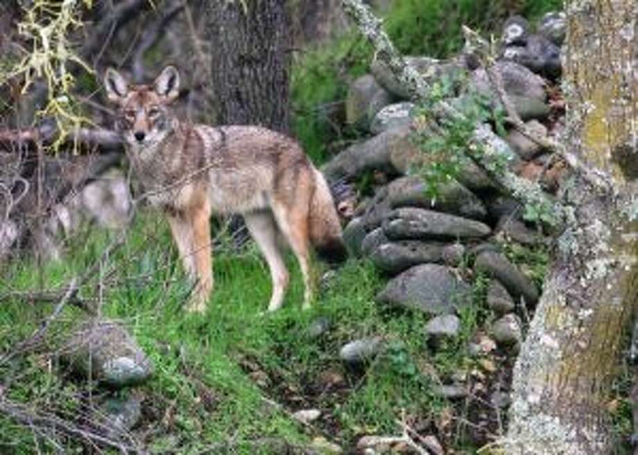 The Michigan Department of Natural Resources advises Michigan residents that coyotes are on the move in the spring. (Courtesy Photo)