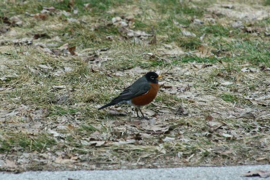 A robin sighting is an indicator for many that spring has arrived. (Jane Bond/News Advocate)
