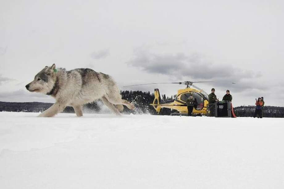 A white wolf is released on Feb. 28 onto Isle Royale National Park in Michigan. Authorities are preparing for another mission to relocate gray wolves to Isle Royale National Park from a second Lake Superior island. (Daniel Conjanu/The National Parks of Lake Superior Foundation via AP, File)