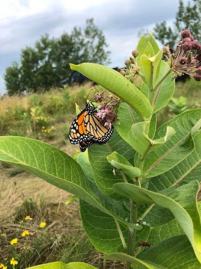 Monarchs lay their eggs exclusively on milkweeds. (Courtesy photo/Lane Proctor)
