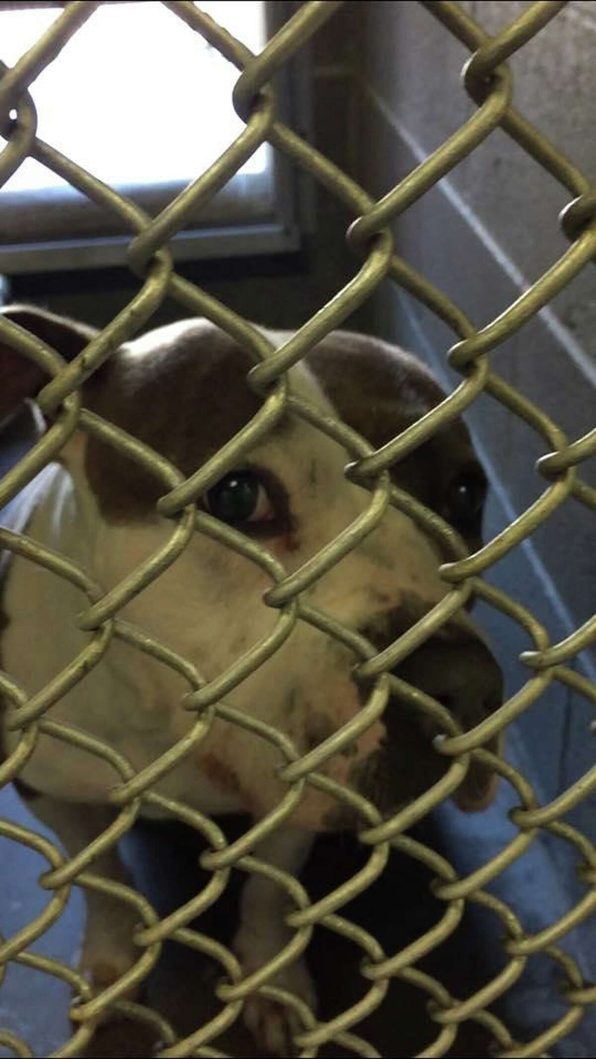 """""""Annabell"""" the pitbull was found in Cranbury Park in Norwalk on Friday."""
