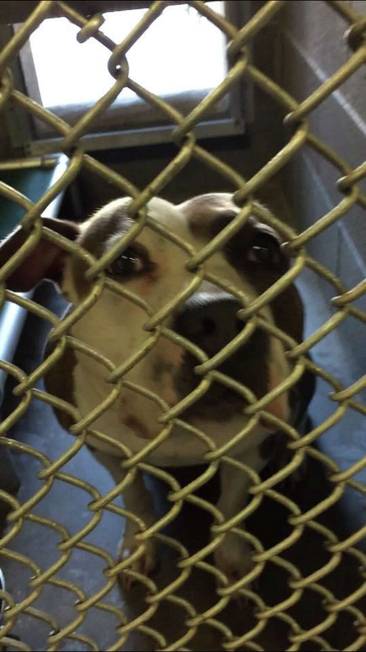 Police received a report on July 26, 2019 of a dog tied to a tree in the park near Norwalk's border with Wilton. Officers found an approximately 3-year-old pit breed tied with a collar that identified her as