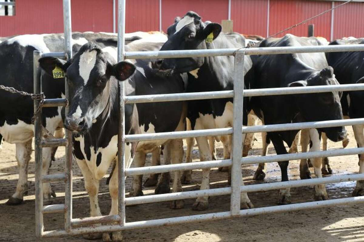 Michigan ranks 5th in milk production. Pictured are dairy cows on K&K Dairy Farm in Westphalia, Mich.