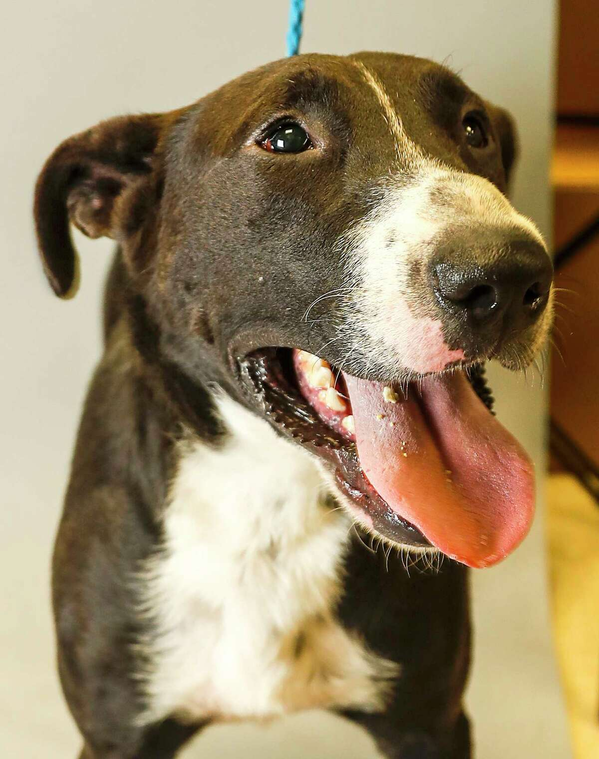 Triton is a 2-year-old, male, Labrador Retriever mix available for adoption at the Fort Bend County Animal Services, in Rosenberg. (Animal ID: A019487) Photographed Tuesday, July 30, 2019. Triton is a sweet dog, who is not wild about being in the shelter. He is on the PUSH list, which means the adoption fees are waived.