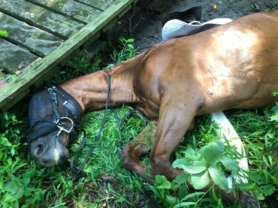 30-year-old horse Willow lying next to a bridge that firefighters helped free her from following a fall in North Stamford on Wednesday morning. Photo: Kate Stoupas / Contributed Photo