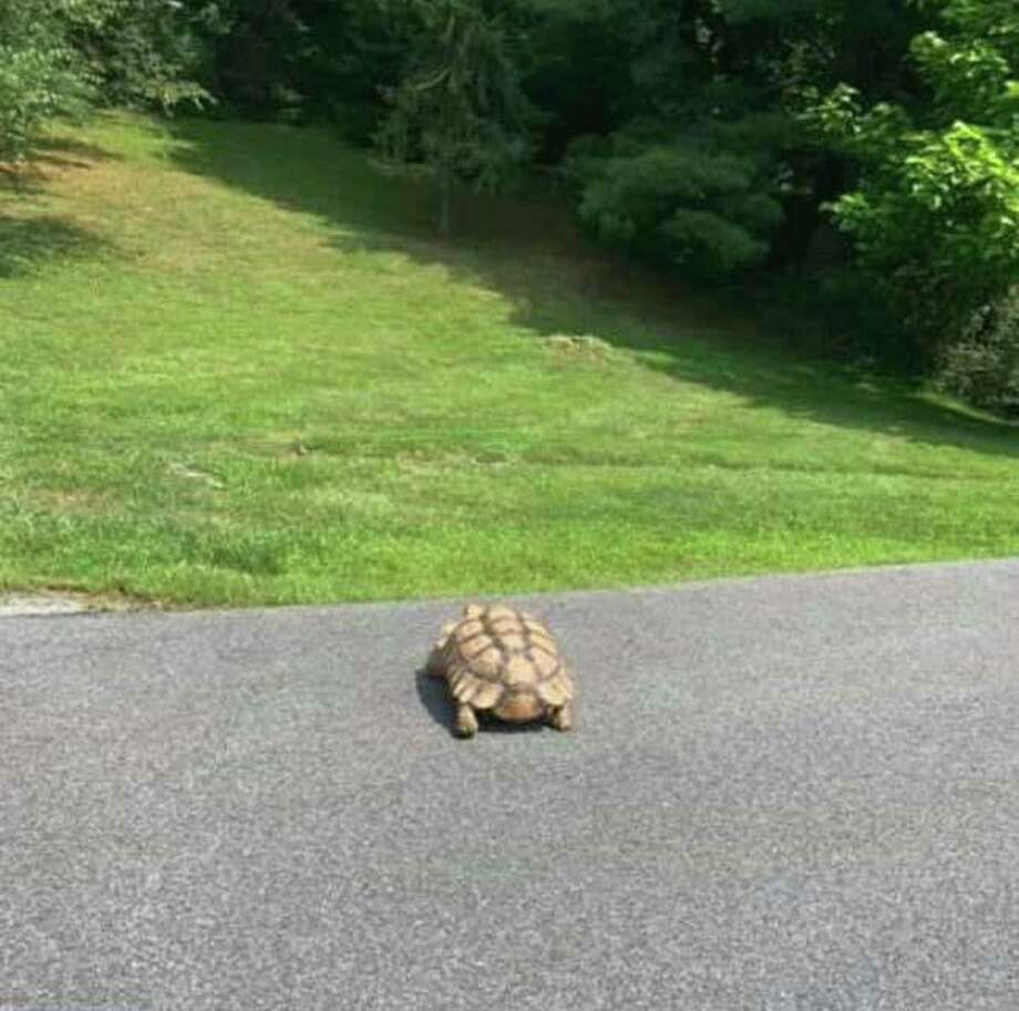 A sulcata tortoise is on the loose in southern Ridgefield. Photo: Facebook
