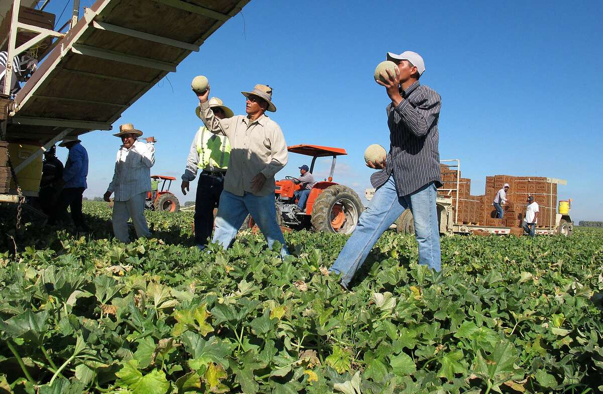 Workers harvest and package cantaloupes near Firebaugh in the Central Valley.