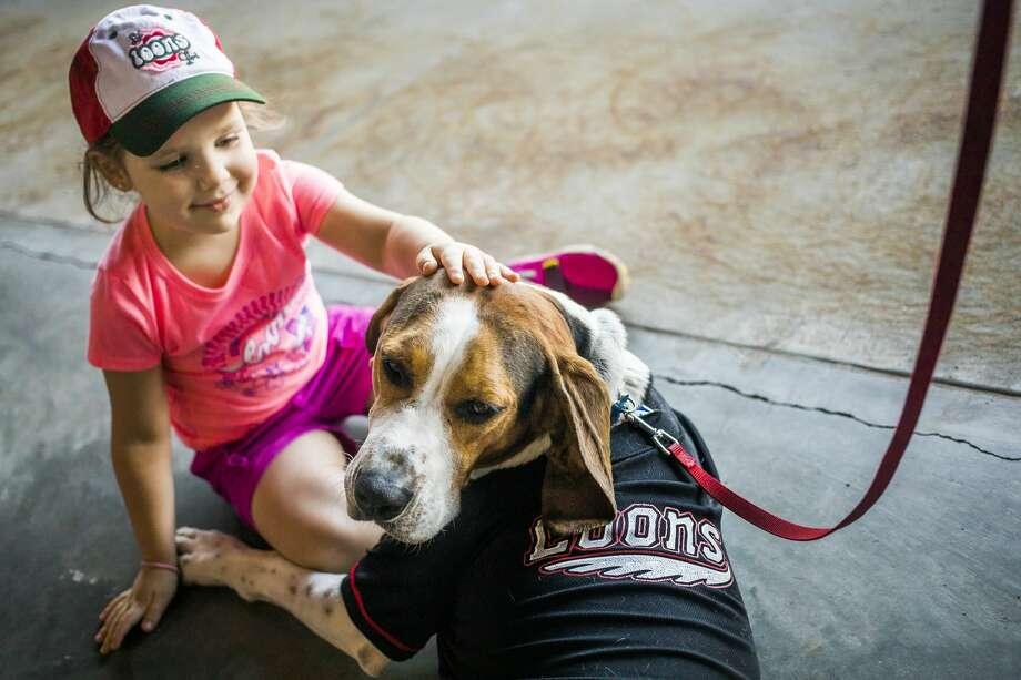 Artessa Utter of Midland, 4, pets a Treeing Walker Coonhound named Bodie, who belongs to Duane Campbell of Midland (not pictured), as the Great Lakes Loons play against the Fort Wayne TinCaps during the Bark in the Park event on Tuesday, July 30 at Dow Diamond. (Katy Kildee/kkildee@mdn.net) Photo: (Katy Kildee/kkildee@mdn.net)
