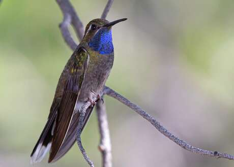 Blue-throated mountain-gem, formerly known as the blue-throated hummingbird, guards his territory in Big Bend National Park.