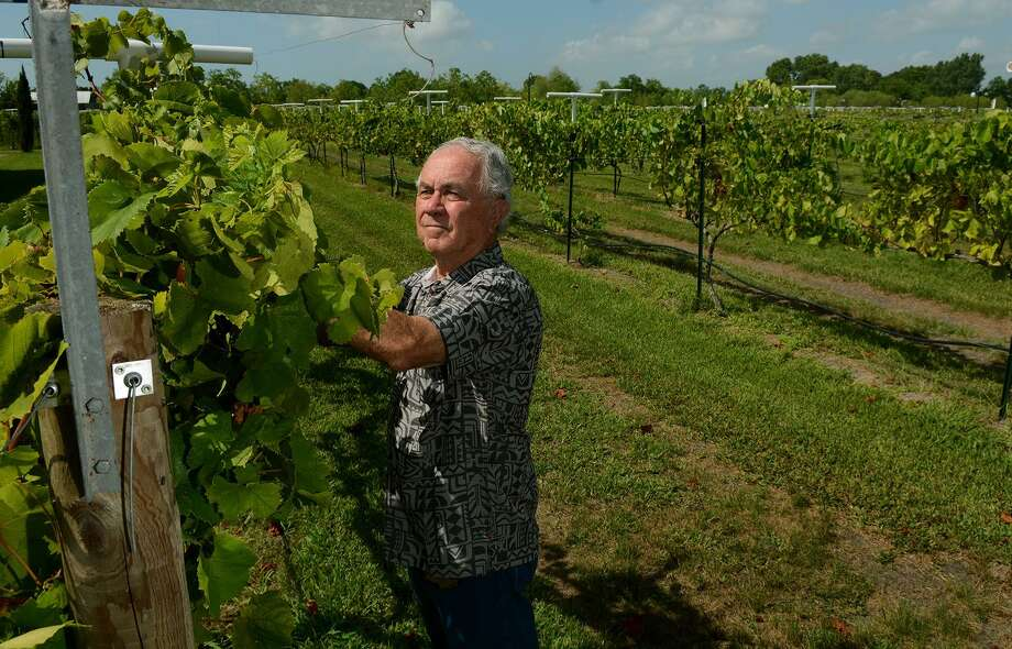 Raymond Haak, owner of Haak Vineyards & Winery checks for drooping vines on the three acres of Blanc du Bois berries during a walk-around the vineyard. Haak in Galveston County also had a great harvest. Raymond is credited with bringing the Blanc du Bois grape to Texas. He has brought to the wine world's attention how can and versatile this white grape can be with his wines earning Gold Medals and Double Gold Medals in international competitions in New York and San Francisco. Photo: Jerry Baker, Freelance / For The Houston Chronicle