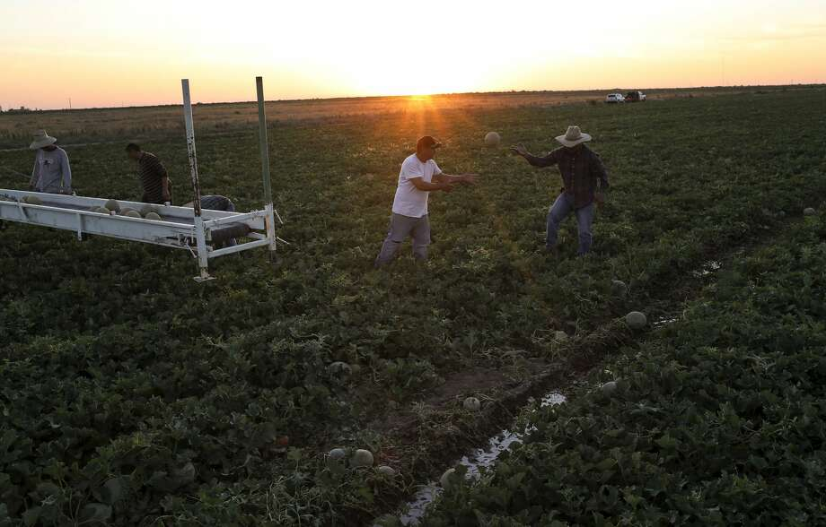 Workers harvest cantaloupe in Pecos County. The Mandujano Brothers hire around 100 workers from Mexico every year. Photo: Jon Shapley/Staff Photographer