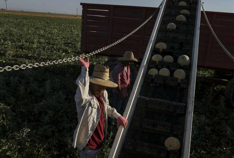 Juan Galvan, left, and Lucino Alvarez Vasquez, both workers from Mexico, harvest cantaloupe in Pecos County. Photo: Jon Shapley/Staff Photographer