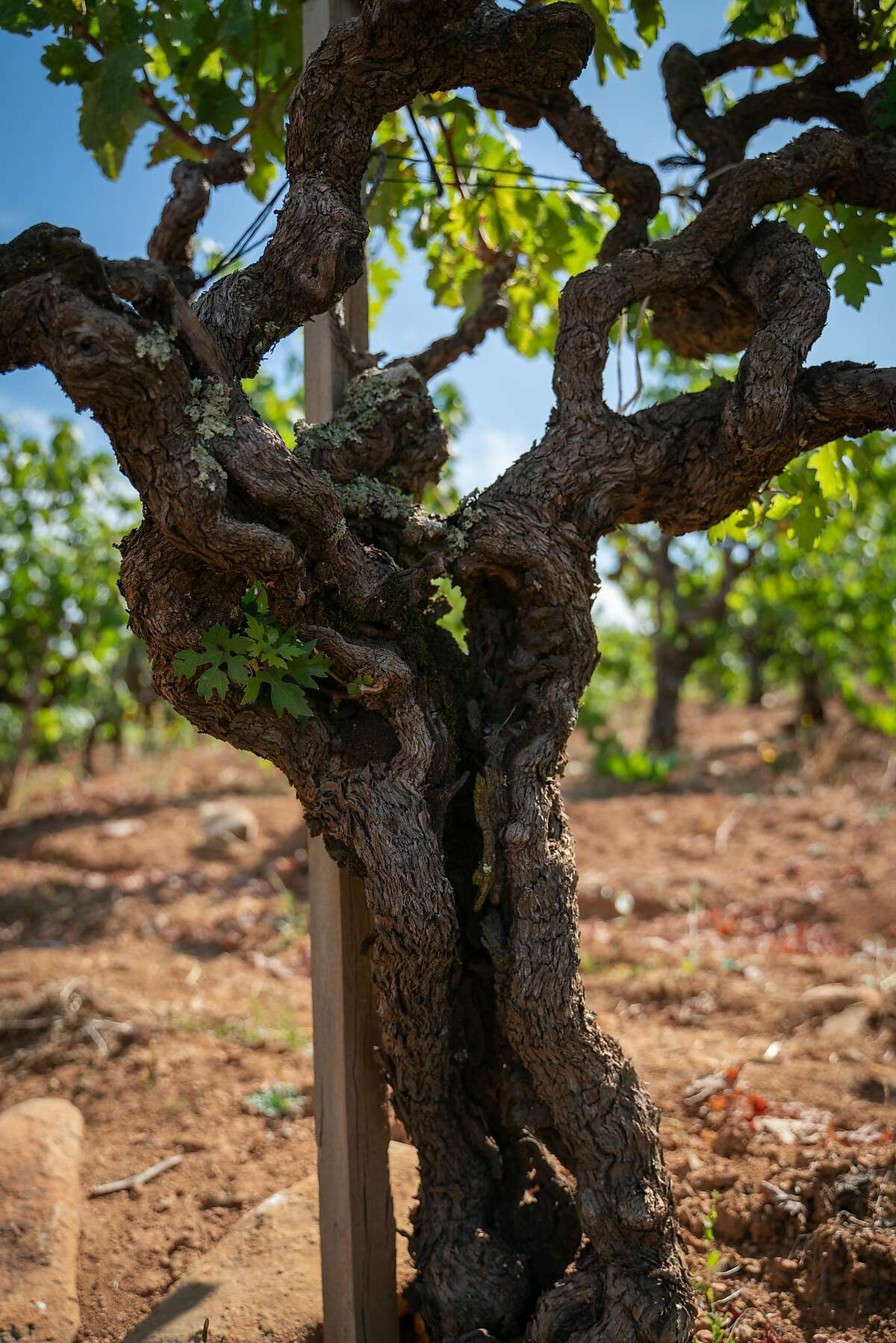 The split trunk of a 126-year-old dry-farmed Zinfandel vine is seen at Monte Rosso Vineyard in Sonoma, Calif., on Thursday, July 25, 2019.