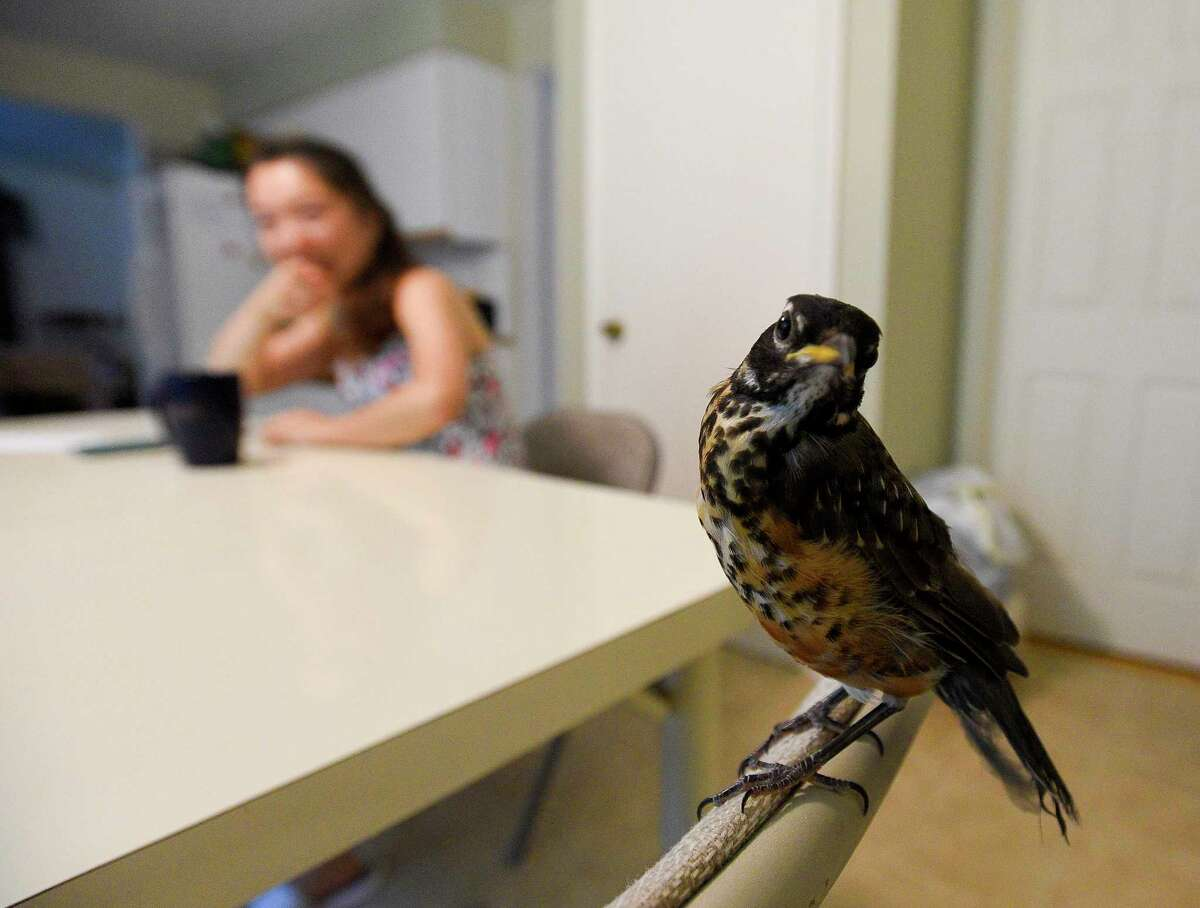 """""""Ali,"""" the baby robin, in Nicole Wang's home in Stamford."""