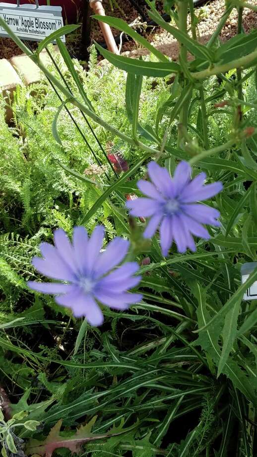 Chicory was cultivated in Egypt in ancient times. It is said to have been one of the bitter herbs that the Israelites were commanded by God to eat as part of their Passover meal. Photo: Courtesy Photo