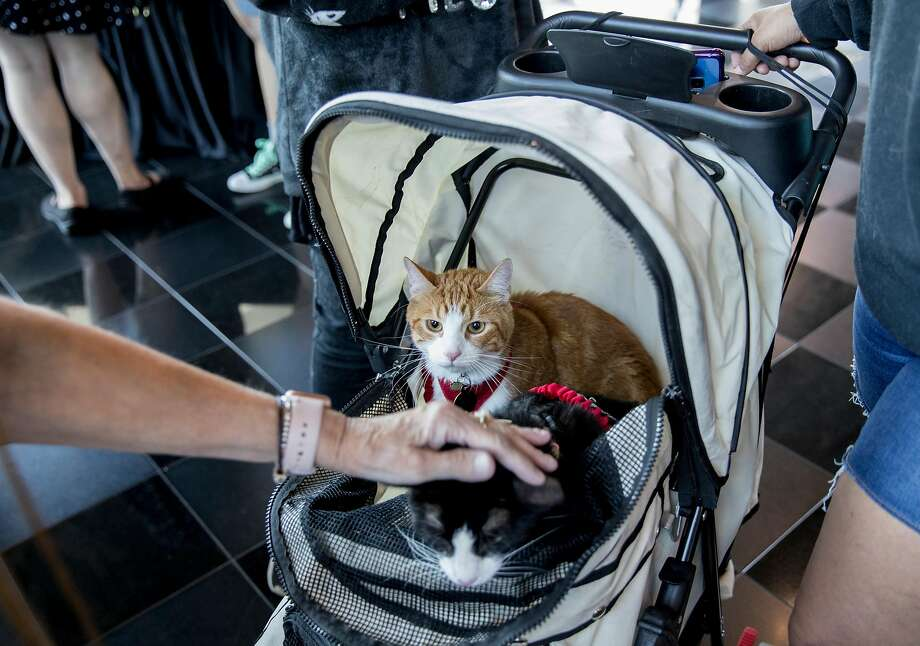 A cat lover pets two cats riding in a stroller at the Silicat Valley Cat Convention and Festival in San Jose. Photo: Jessica Christian / The Chronicle