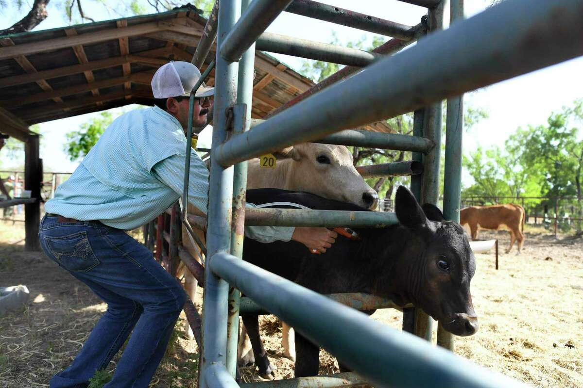 Mario Alaniz of the Texas Animal Health Commission injects a calf with a dose of of Dectomax to control ticks on a ranch near San Ygnacio on Tuesday, July 30, 2019. The calf did not have any ticks on it.