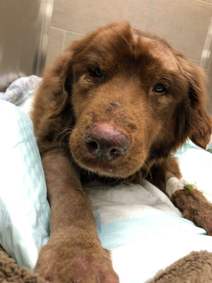 Chris Roush's 17-year-old dog Sadie at VCA Cheshire Animal Hospital Thursday morning Photo: Contributed Photo / VCA Cheshire Animal Hospital