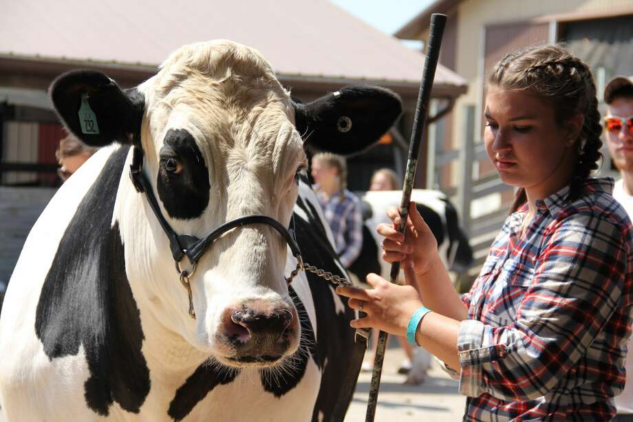 Thursday's events at the Huron Community Fair featured market beef, goats, beef breeding, and much more. The fair wraps up this Saturday. Photo: Andrew Mullin/Huron Daily Tribune