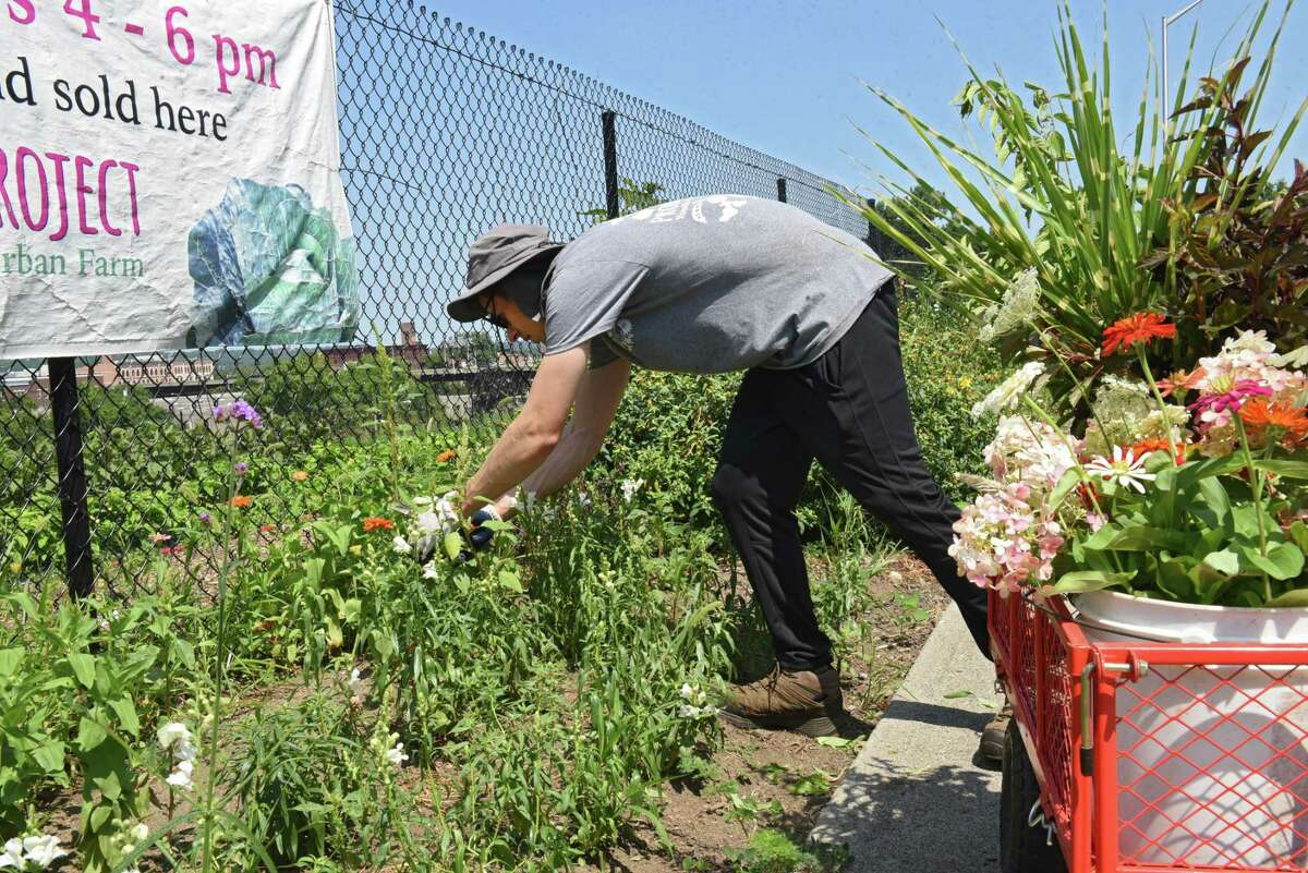 Summer intern Jeff Lorber of Albany cuts fresh flowers for the Produce Project Capital Roots program on Friday, Aug. 2, 2019 in Troy, N.Y. The flowers will be sold at the Delmar farmers market. (Lori Van Buren/Times Union)