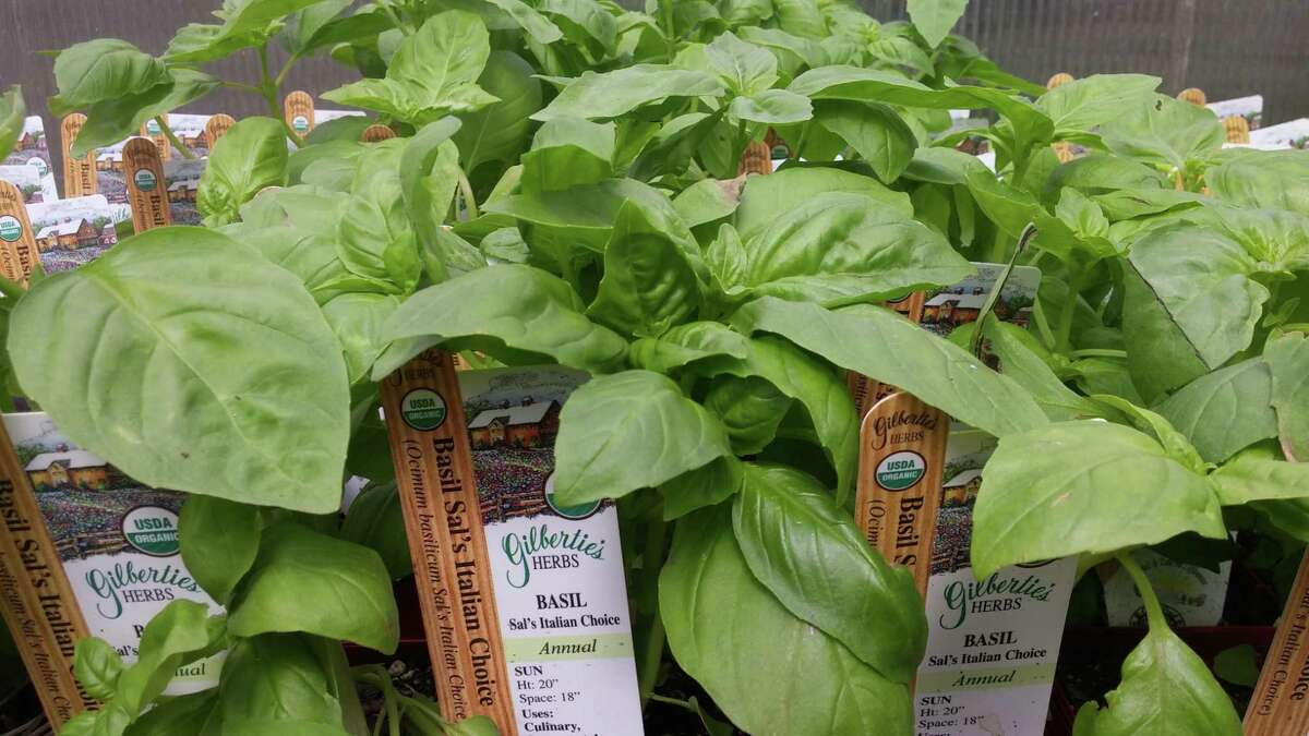 Gilbertie's Herbs in Westport is a great source for many varieties of basil plants.
