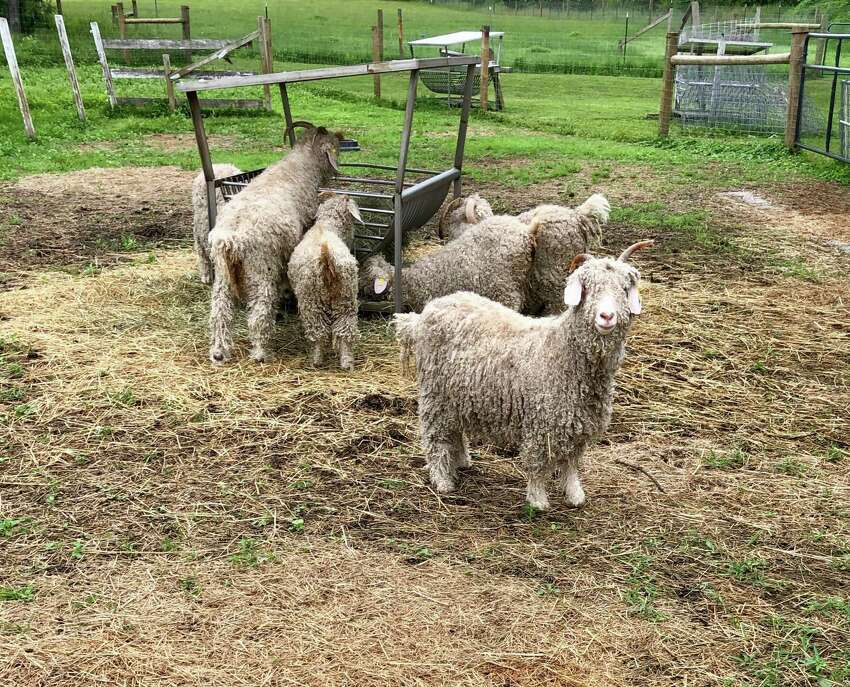 Goats at the Wing & A Prayer farm. Trillium, an Angora goat, which produces mohair, poses, interested in the camera. (Photo by Cecily Bailey)