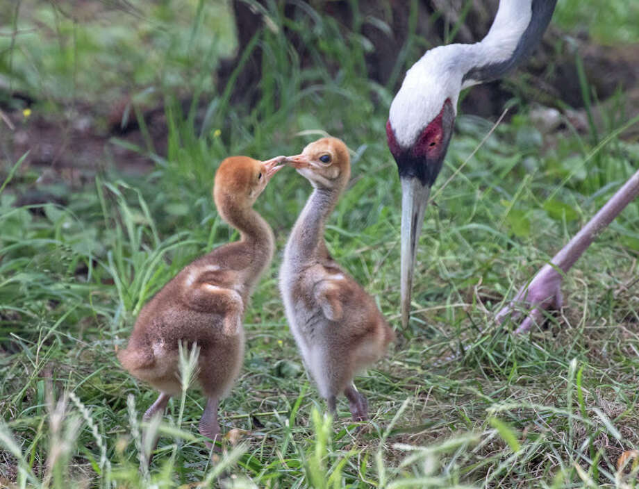 Two white-naped crane chicks were born at Woodland Park Zoo on July 9 and 10, 2019. Photo: Dennis Dow/Woodland Park Zoo