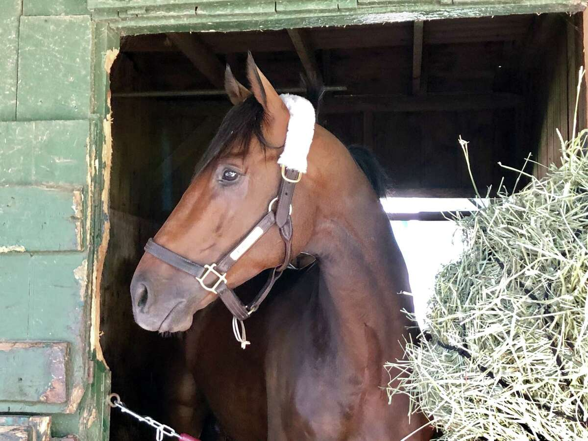 The star of the summer of 2018 is back in town. Catholic Boy, winner of last year's Travers Stakes, arrived at trainer Jonathan Thomas' barn on the backstretch Friday morning. The 4-year-old colt has been at Belmont Park ever since finishing second in his latest start, the Suburban, on July 6. Thomas said the summer target for Catholic Boy is the $750,000 Woodward at Saratoga on Aug. 31. (Tim Wilkin / Times Union)