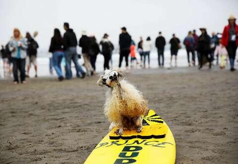 Cute french bulldog wins at World Dog Surfing Championships