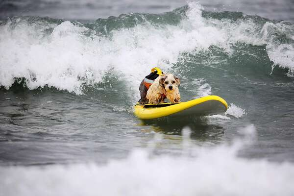 Surfing pups hang 20 in competition for top dog of the waves