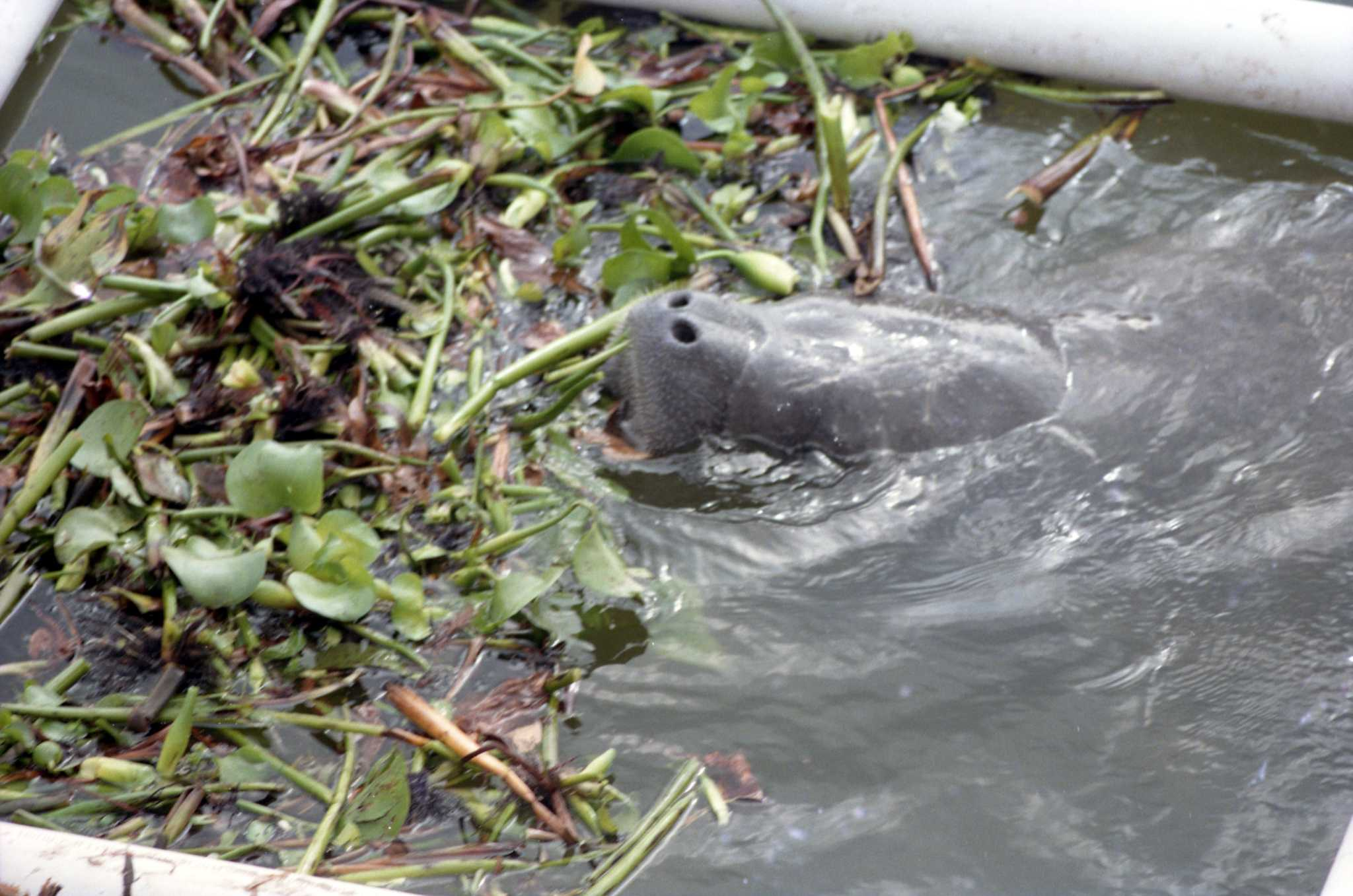 In 1995, a manatee made its way up Buffalo Bayou. Houstonians were enthralled