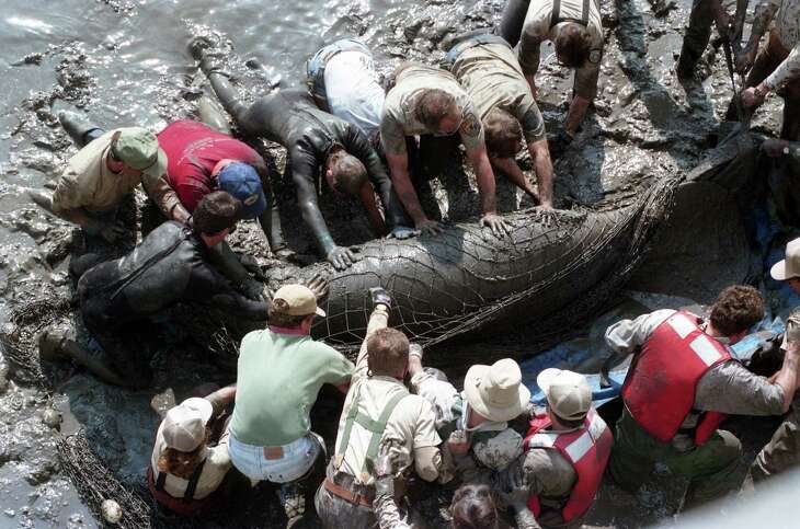 Scenes along Buffalo Bayou near 69th Street, where a manatee was spotted and captured, Dec. 7, 1995.