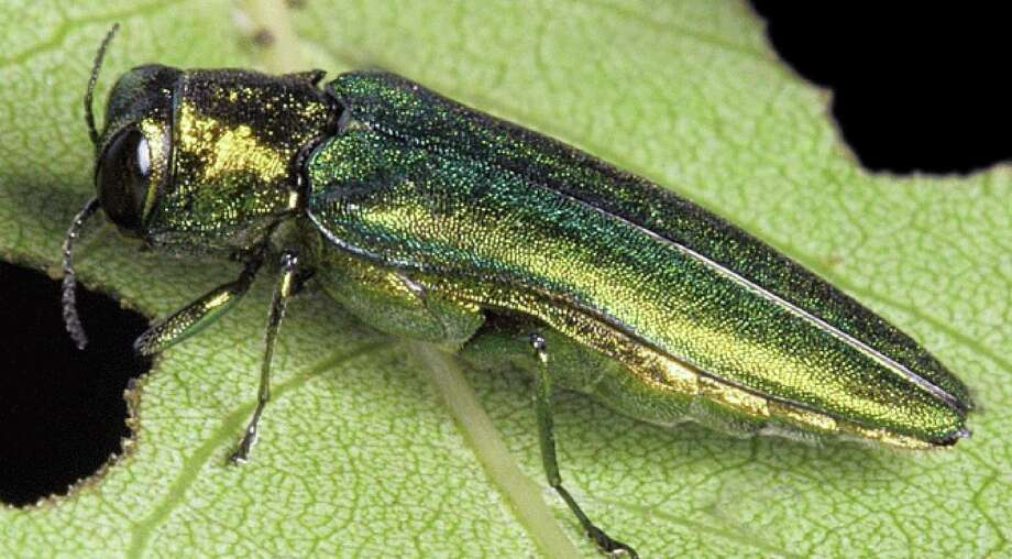 Connecticut forestry officials said last week they've found the emerald ash borer, a small beetle that kills ash trees, 25 miles from the state border in New York. They used the finding to urge state residents not to truck firewood across state lines because the wood might carry the borer. Photo: Contributed Photo / ST / The News-Times Contributed