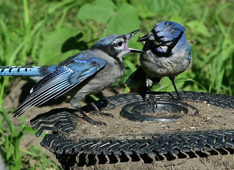 An adult bluejay feeds a young bluejay on Monday, Aug. 5, 2019 in Albany, N.Y. (Lori Van Buren/Times Union) Photo: Lori Van Buren, Albany Times Union