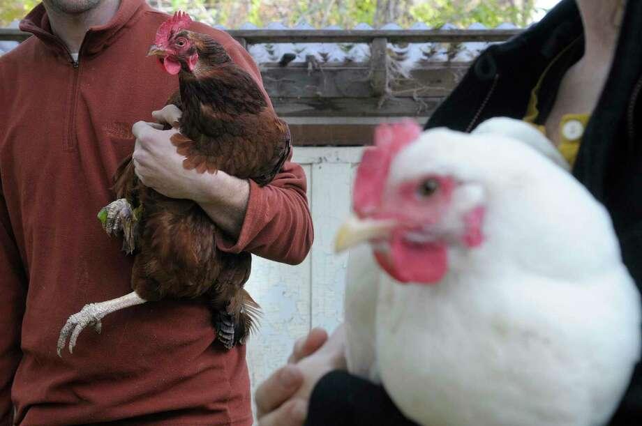 Letter: Chickens in Albany will attract predators - Times Union