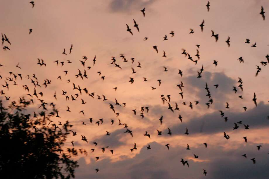 This photo provided by the Texas Parks and Wildlife Department shows a colony of bats leaving their habitat as the sun sets at an unknown location in central Texas. These nocturnal mammals eat about 1,000 tons of insects each night. By eating moths, bats prevent the laying of thousands of eggs. That means fewer corn earworms and pink cotton bollworms chomping through corn and cotton fields, respectively. Photo: AP / TEXAS PARKS AND WILDLIFE DEPT.
