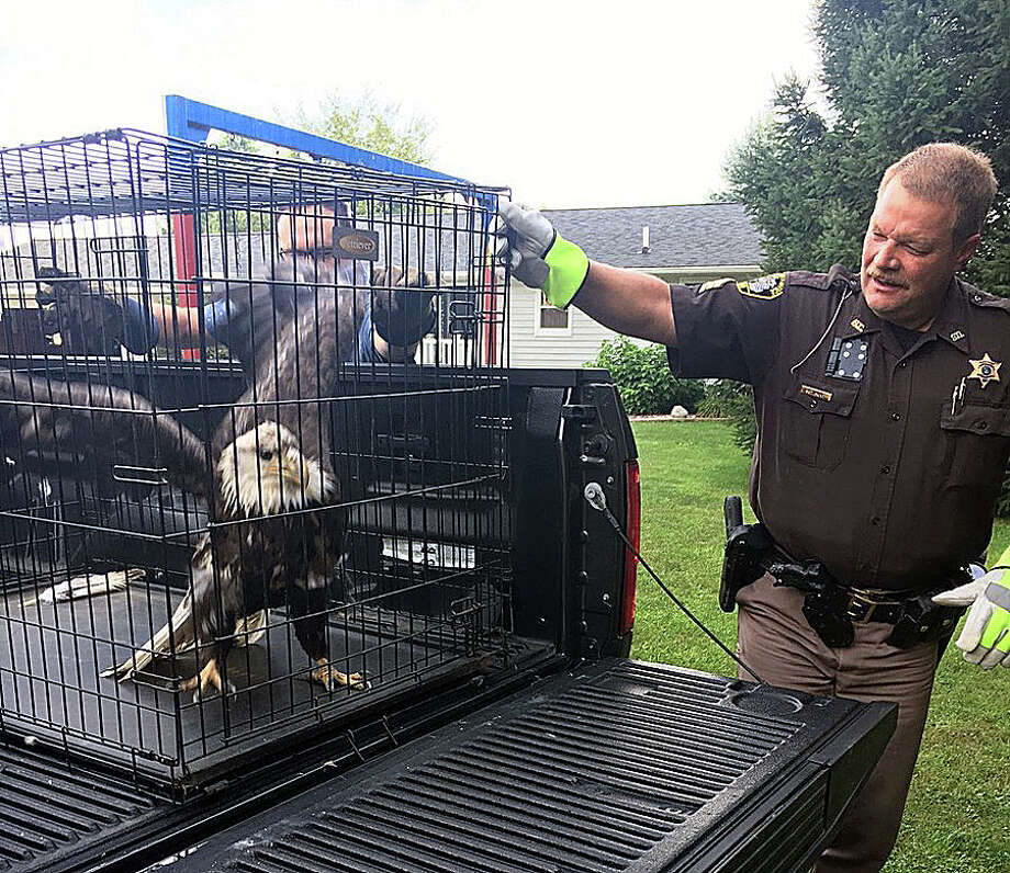 An injured bald eagle was found in a field driveway on Grassmere Road — north of M-142 in Oliver Township — around 7 a.m. Monday by area resident Nehemiah Messing, the Huron County Sheriff's Office reported. Messing helped Huron County Sgt. James Hunt catch and take the eagle to Hunt's residence until it could be taken to a bird rescue Tuesday morning. It's unknown how the eagle was injured. Photo: Photo Courtesy Of The Huron County Sheriff's Office