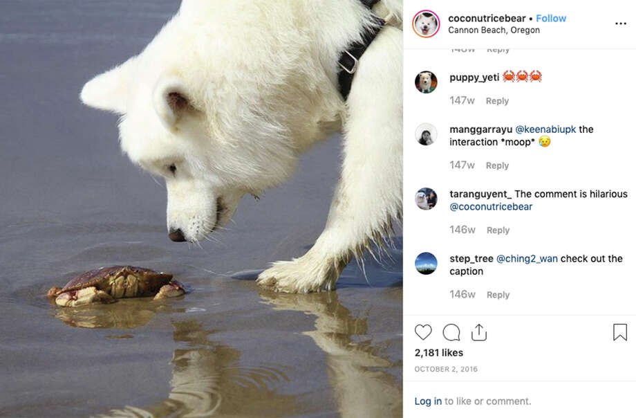 Coconut Rice Bear, an Insta-famous San Francisco dog, is on pace to make $80K a year. Photo: @coconutricebear / Instagram
