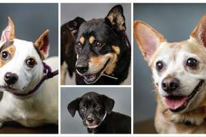 Tiffany (left: A1645030); Nathan (top: A1640449);  Lucy (bottom: A1644587); and Mona (right: A1644443) available for adoption at the BARC Animal Shelter, in Houston. Photographed  Tuesday, August 6, 2019.
