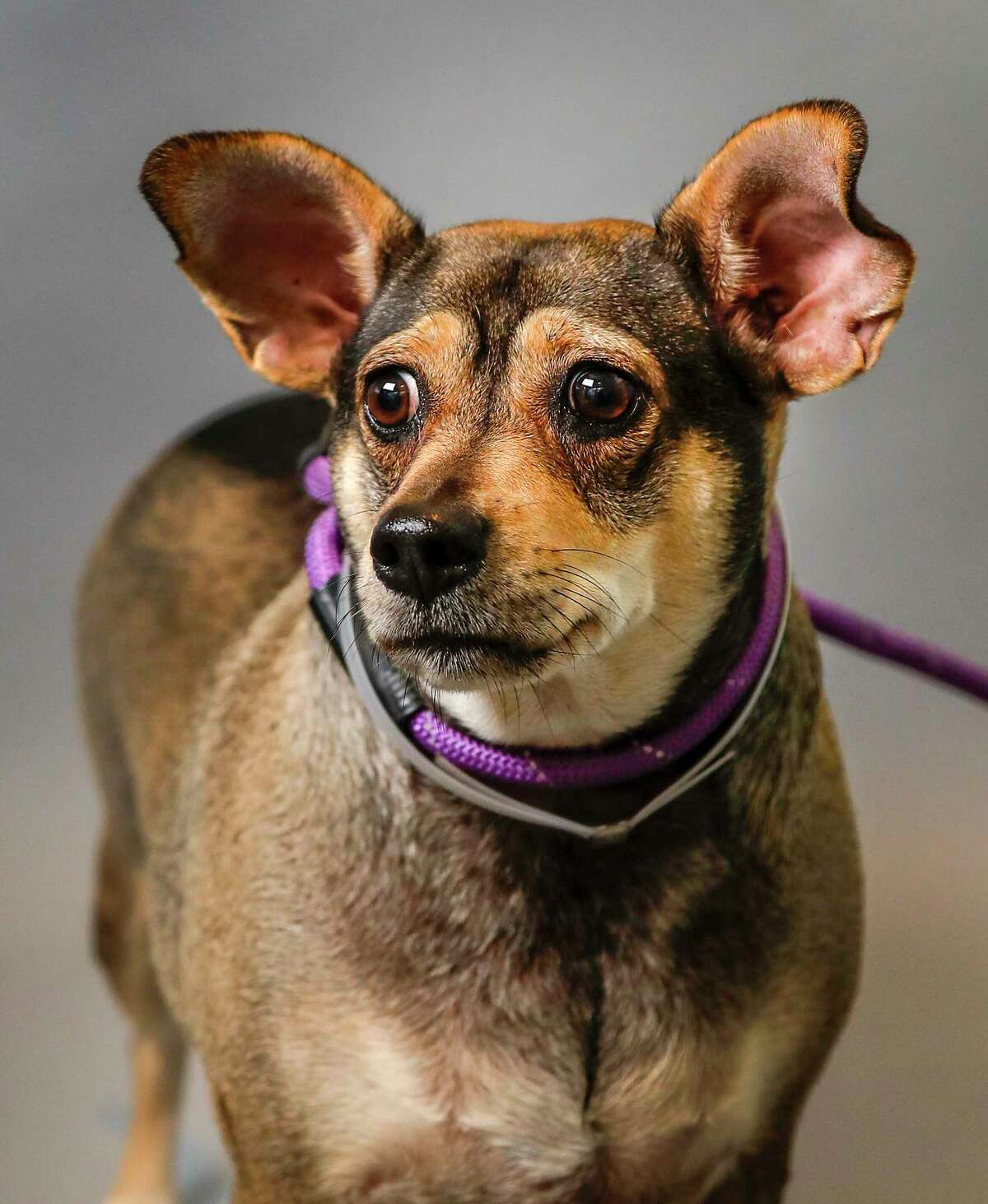 Lexicon is a 5-year-old, female, Austrailian Cattle Dog mix available for adoption at the BARC Animal Shelter, in Houston. (Animal ID: A1642746) Photographed Tuesday, August 6, 2019. Lexicon a.k.a. Lexi strikes an impression at first glance. She's a beauty, even if she's a bit of a rolly-polly. She's friendly, has great energy, and has a weakness for treats.