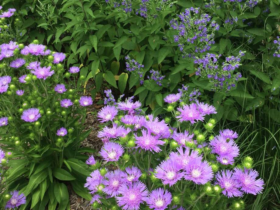 Stokes aster is among long flowering summer perennials that will keep the gardener and the pollinator sustained. Photo: Washington Post Photo By Adrian Higgins / The Washington Post