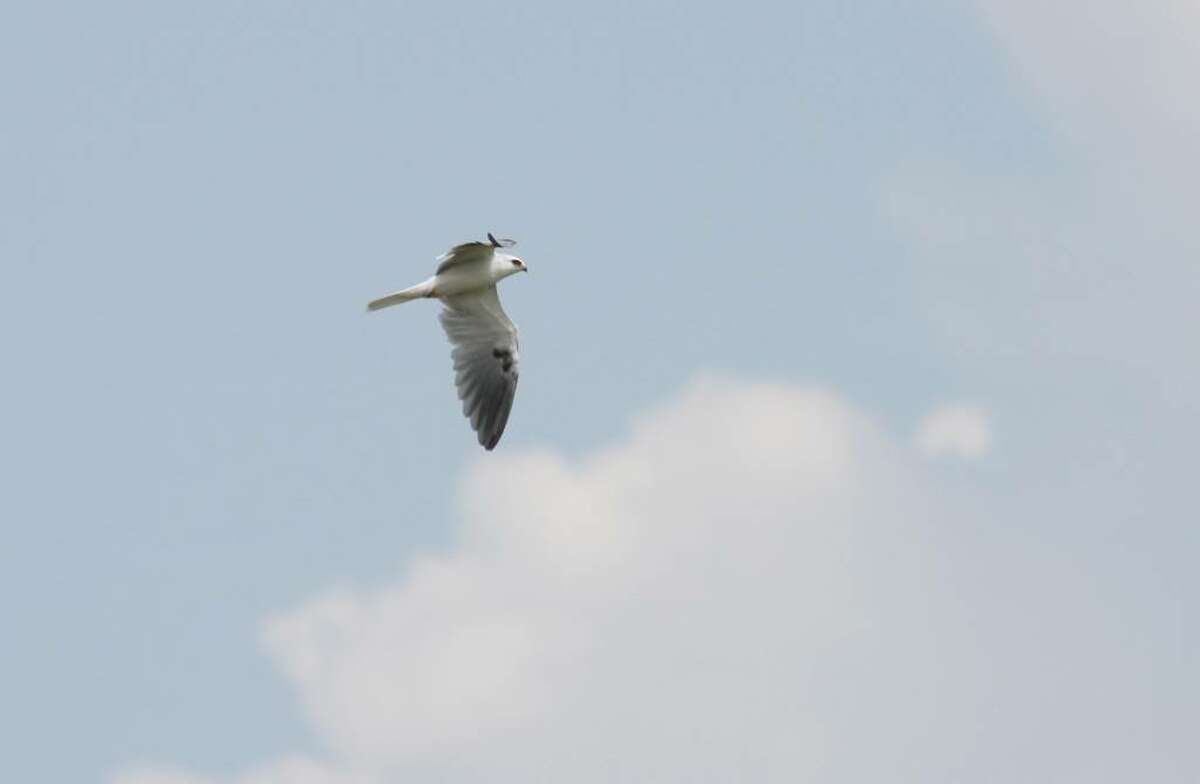 Benjamin Van Doren This White-tailed Kite was spotted earlier this week in Connecticut, near Stratford Point. It was the first recorded sighting of the species in New England in 100 years.