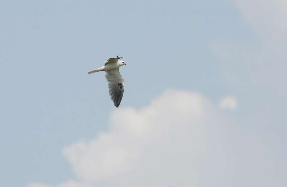 Benjamin Van Doren  This White-tailed Kite was spotted earlier this week in Connecticut, near Stratford Point. It was the first recorded sighting of the species in New England in 100 years. Photo: Benjamin Van Doren/Contributed Photo, Contributed Photo / Greenwich Citizen