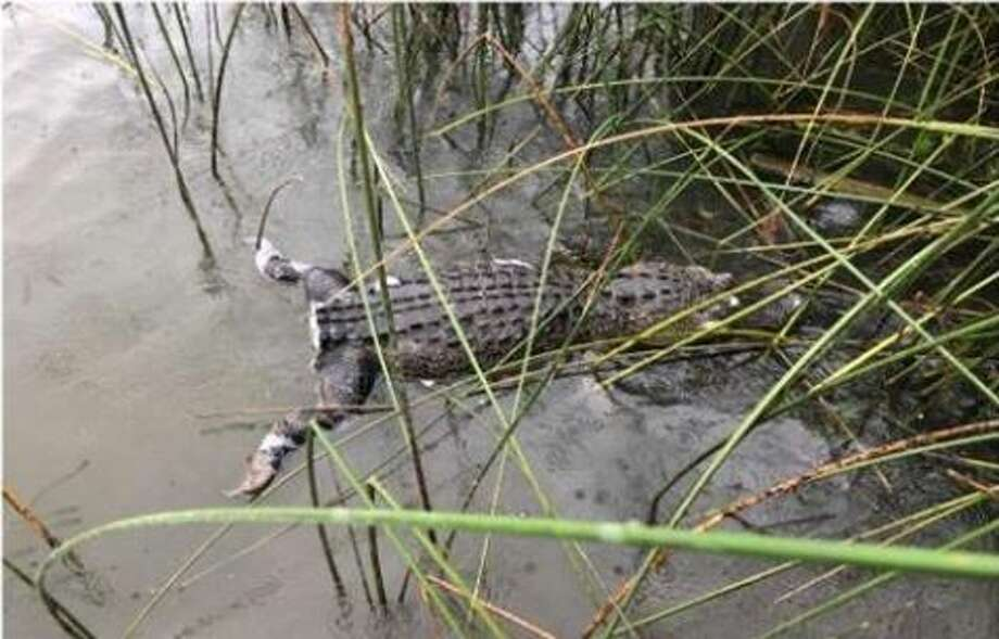 Tarrant County game wardens are offering a $1,000 reward for any information leading to the arrest of the person responsible for killing the alligator.  >>>See other close encounters with alligators across Texas>>>  Photo: Operation Game Thief / Facebook